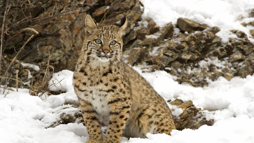 Winter Snow, Bobcat.jpg