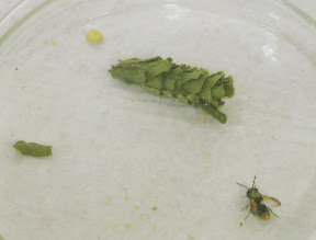 Abelha Megachilidae que emergiu do ninho de folhas