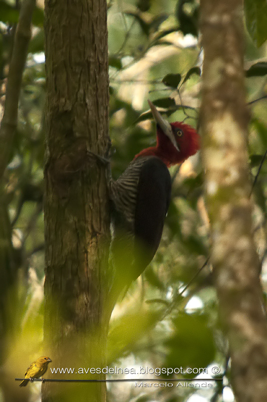 Carpintero grande (Robust Woodpecker) Campephilus robustus