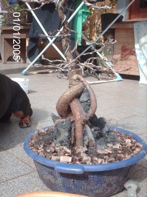 Ficus Nerifolia, Uma raiz de 3 anos... PICT1059