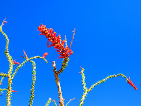 Brilliant Ocotillo bloom off the Dolomite Mine trail in Anza Borrego