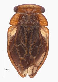 Xenophysella stewartensis (Hemiptera: Peloridiidae). Photo BE Rhode, colour correction in collaboration with M-C Larivière.Citation: Larivière M-C, Burckhardt D, Larochelle A. 2011. Peloridiidae (Insecta: Hemiptera: Coleorrhyncha). Fauna of New Zealand 67. 78 pp. http://www.biotaxa.org/fnz/issue/view/431