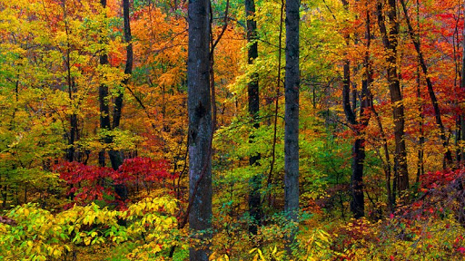 Autumn Forest, Blue Ridge Mountains, Virginia.jpg