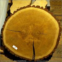 Quercus robur - Dąb szypułkowy przekrój pnia, słoje