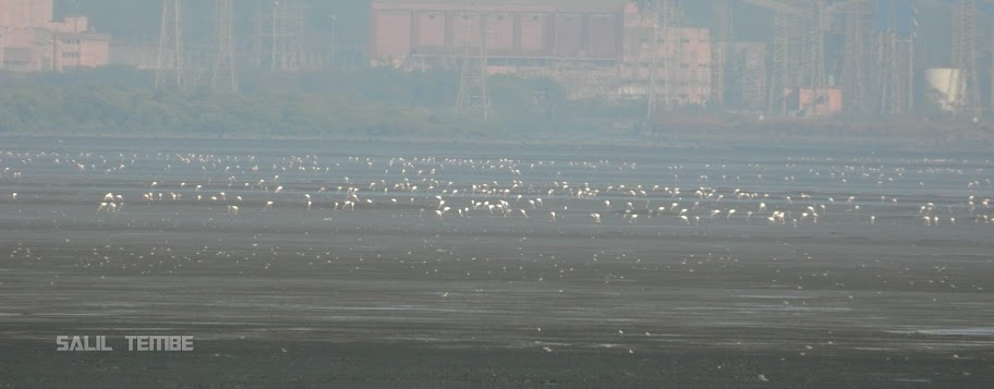 Flamingos in Mumbai at Sewri Mudflats