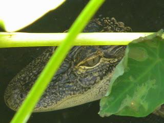 Baby Gator Sawgrass Lake Park