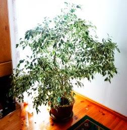 Figowiec benjamiński 'Variegata' - Ficus benjamina 'Variegata'