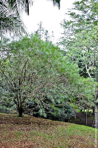 Дерево Иланг Иланг