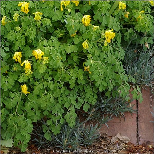 Corydalis lutea - Kokorycz żółta