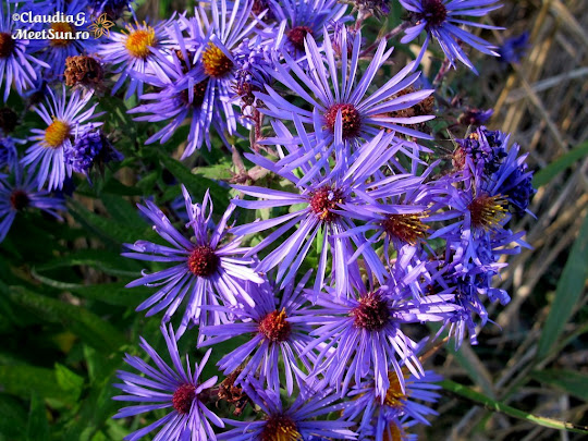 Aster Patens