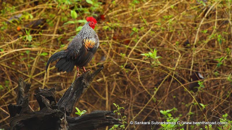 Grey Junglefowl - one early morning at Nagarhole National Park - 1