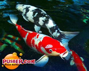 Penyakit Pada Ikan Koi dan Cara Pengobatannya - pusber.com