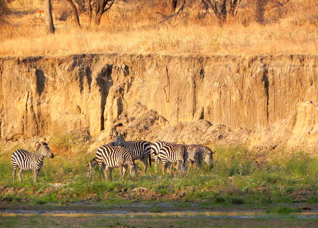 أفضل ما في أفريقيا  Best of Africa Zebras%252520on%252520bank