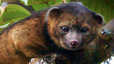 olinguito is the first new species of carnivore to be identified in the Western hemisphere in 35 years