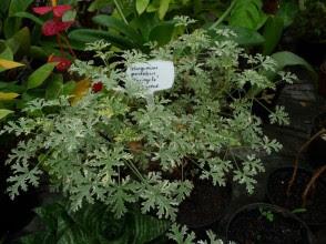 Pelargonia pachnąca 'Variegata' Pelargonium graveolens 'Variegata'
