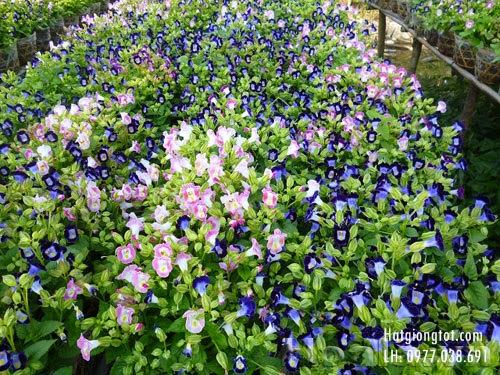 Bán hạt giống hoa tô liên