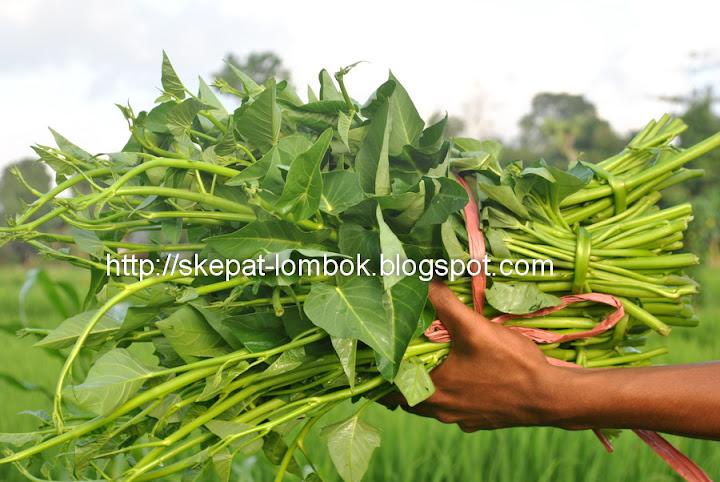 kangkung terbaik di asia tenggara. kangkung lombok mempunyai cita rasa khas, gurih dan menyehatkan, dapat menyembuhkan penyakit-penyakit tertenu. kangkung lombok, selamatkan anak indonesia dari kekurangan zat besi