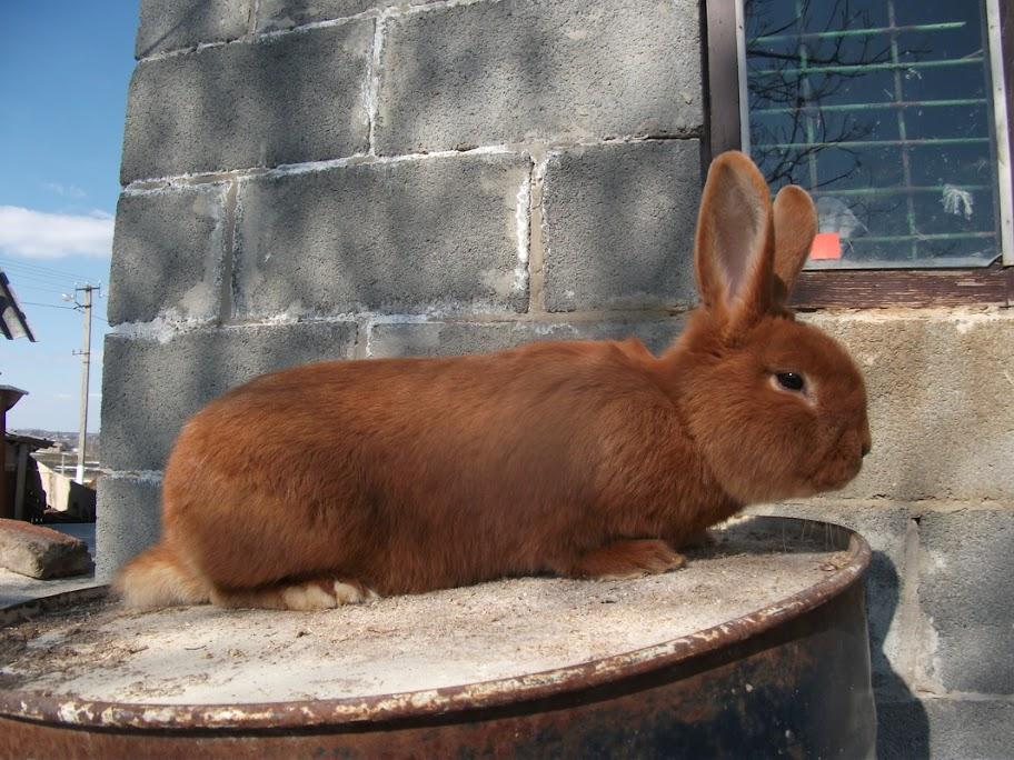 Кролик породы Новозеландский красный. - Страница 4 DSCF1278