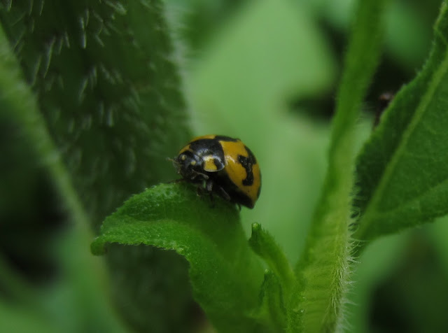 this ladybug visits the garden
