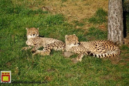 cheetahs vieren hun eerste verjaardag Zoo Parc Overloon (24) 11-11-2012.JPG