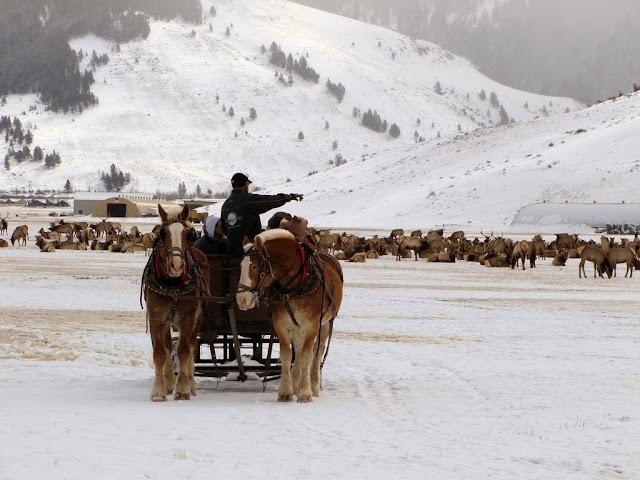 Sleigh ride and elk, National Elk Refuge, Lori Iverson, USFWS