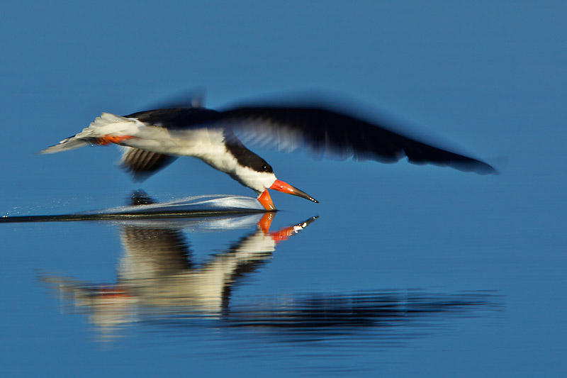 """Black Skimmer"" by David Orias"