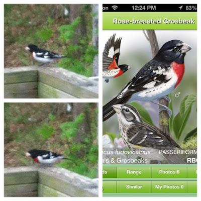 collage Friday, iBird, nature study homeschool