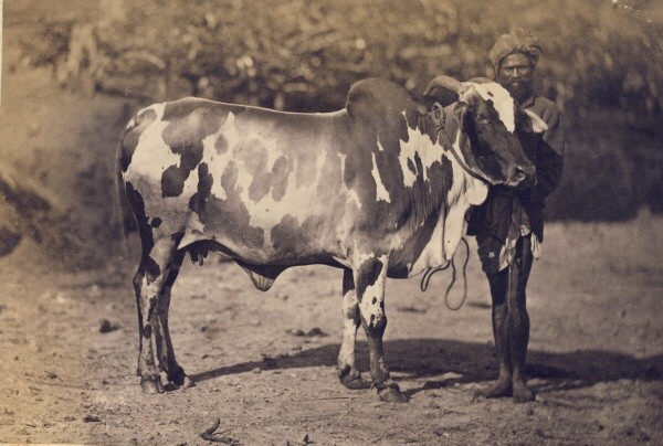 Man with a Bull - Ceylon (Sri Lanka) 1880's