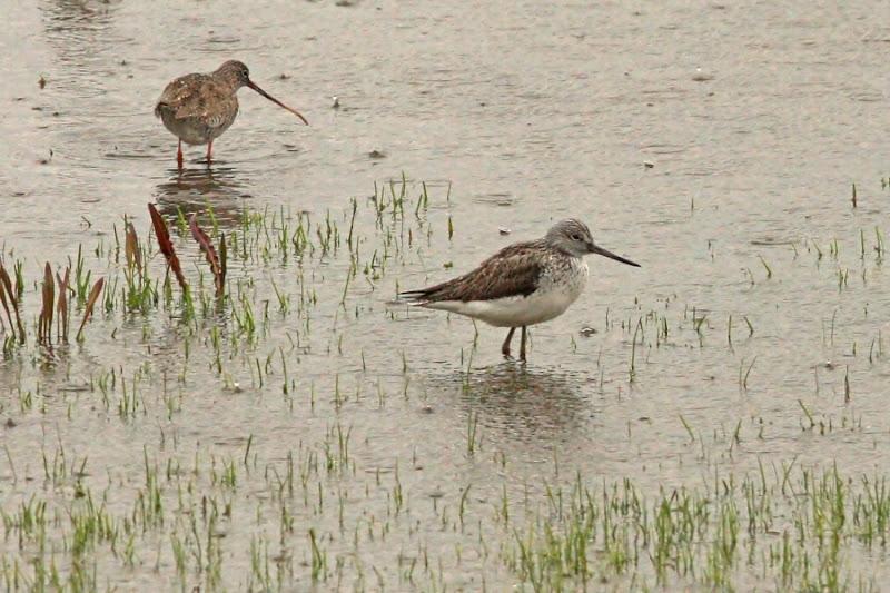 Fluierar cu picioare rosii verzi Comana pasari ploaie birdwatching limicole