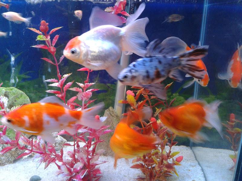 7º Concurso AquaPeixes de Fotografias -Tema Peixes Cardumeiros e Peixes em Grupo- 2012-12-23%252019.02.39