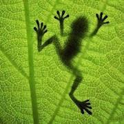 К чему снится зеленая лягушка?