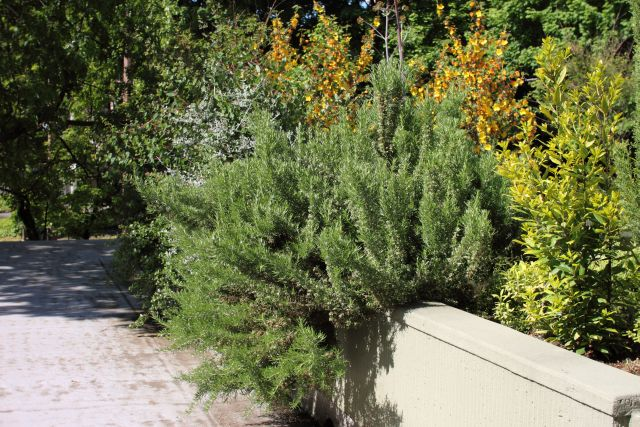 rosemary in community garden