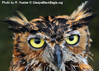 A close-up of a great horned owl face.