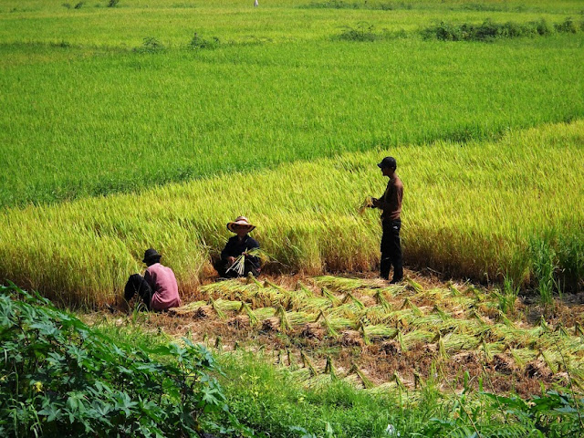 Rice planting. The Definitive Guide to Moving to Southeast Asia: Cambodia
