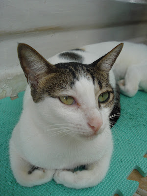 pretty Munchkin - glam cat