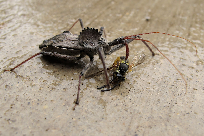 Wheel bug devours a hornet