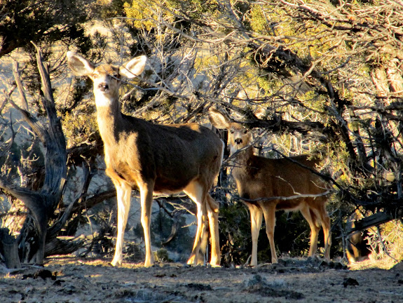 Deer on the mesa above the Carbon Golf Course