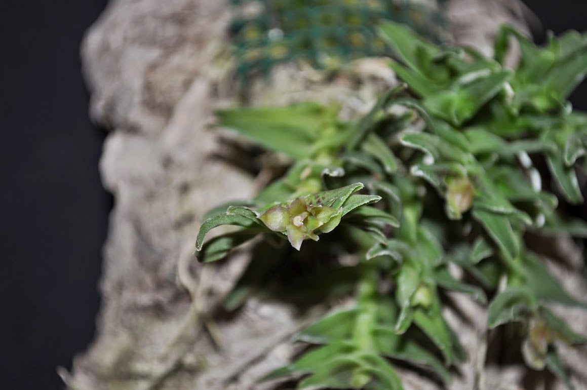 Epidendrum congestum  DSC_0053