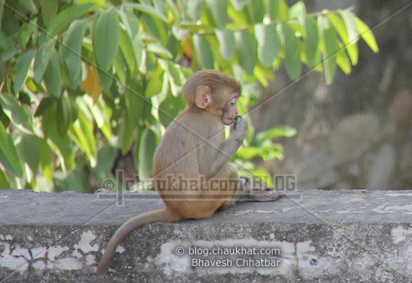 Monkeys of Jaipur - Enjoying leaves