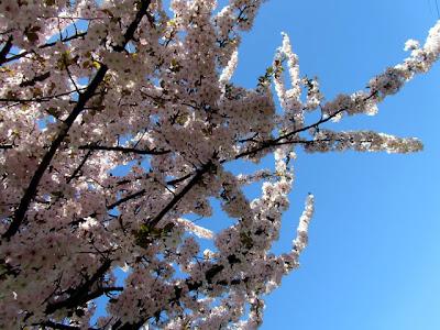 white cherry tree