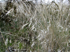 Bromus tectorum (Cheat Grass)