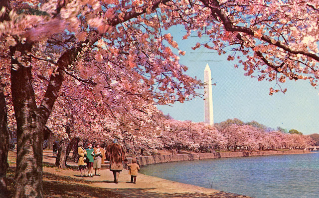 Visiting Vintage Vintage Cherry Blossom Time In Washington Dc