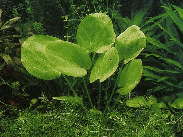 Эхинодорус крупноцветный (Echinodorus grandiflorus)