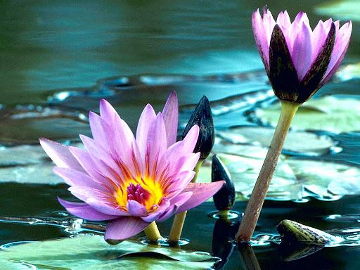 Flowers_Lotus.jpg