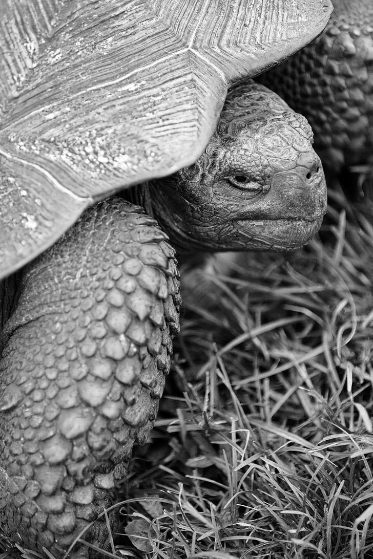 Giant Tortoises - Galapagos Animals.