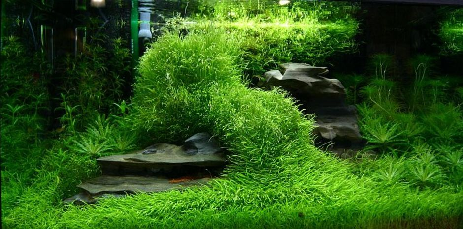 Пузырчатка траволистная (Утрикулярия граминифолия) (Utricularia graminifolia)