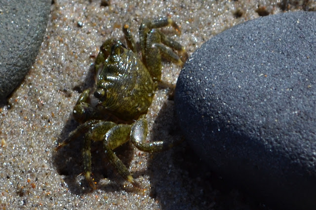 tiny green crab by a small stone