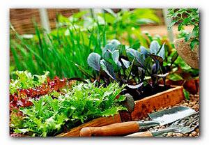 Выращивание салата на даче
