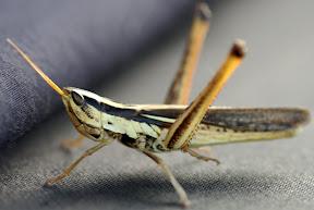 Two-striped Mermiria Grasshopper