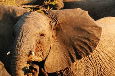 Young Bull Elephant by I, Profberger, via Wikimedia commons